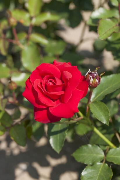 Ryhmäruusu 'Nina Weibull', Ø19 cm, Punainen