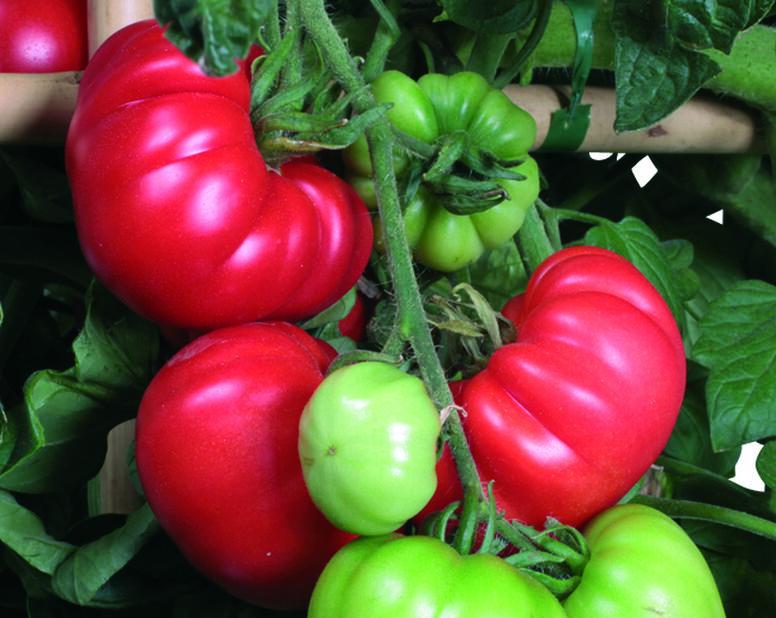 Tomaatti 'Marmade', Ø10.5 cm, Punainen