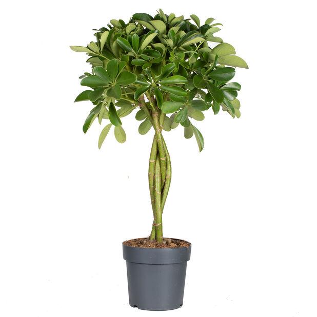 Siroliuska-aralia , Korkeus 70 cm, Vihreä