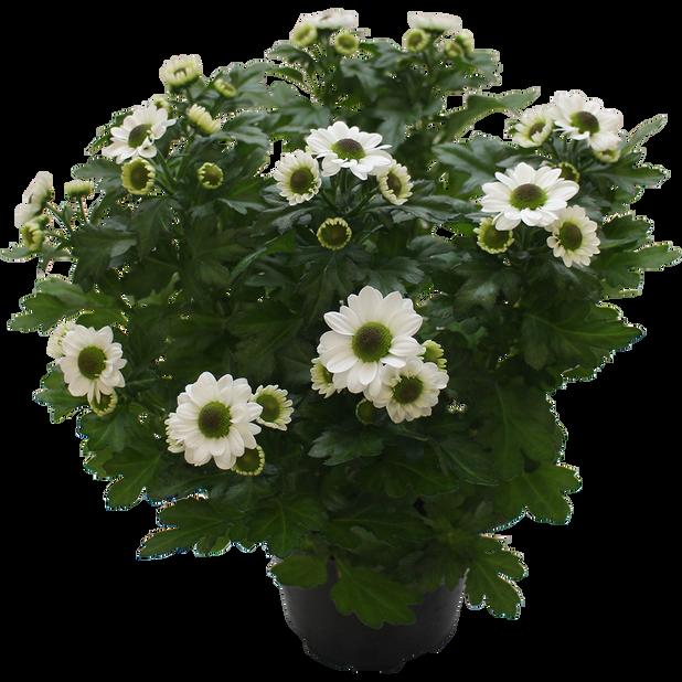 Krysanteemi 'Trend' 12 cm