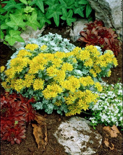 Lusikkamaksaruoho , Korkeus 15 cm, Keltainen