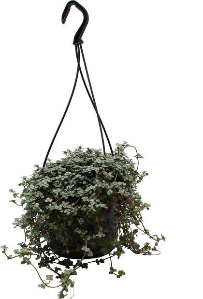 Piilea amppelissa, Korkeus 20 cm, Vihreä