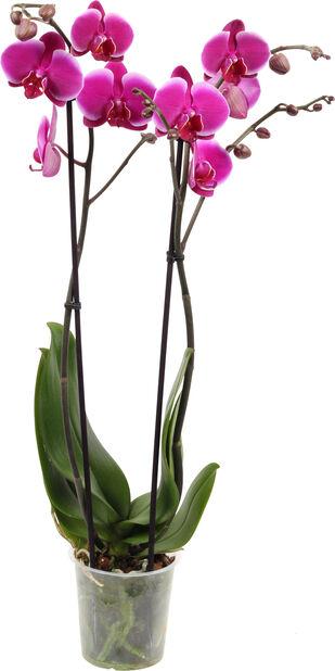 Perhosorkidea 'Pretoria', Korkeus 65 cm, Viininpunainen