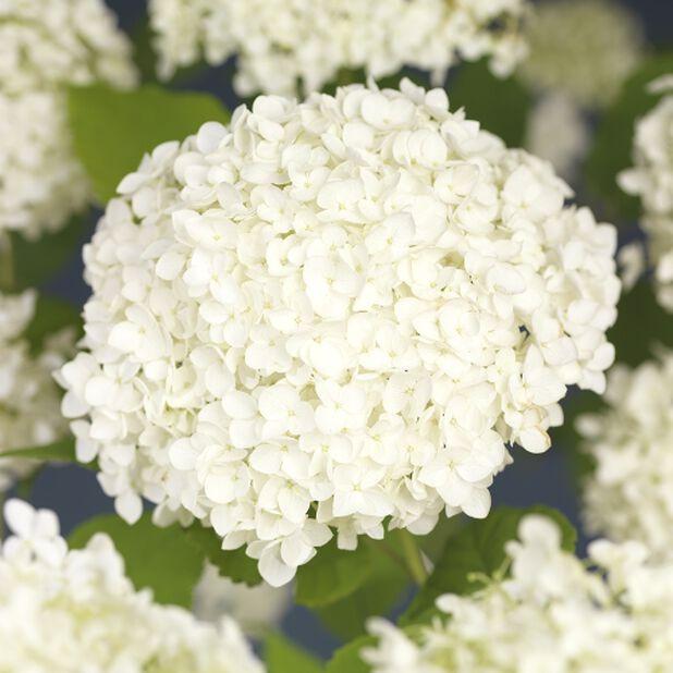 Pallohortensia 'Annabelle' , Ø19 cm, Valkoinen