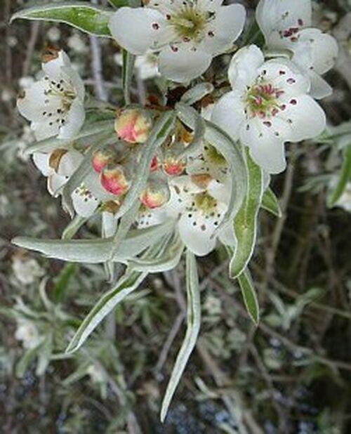 Pyrus salicifolia 'Pendula' 12L