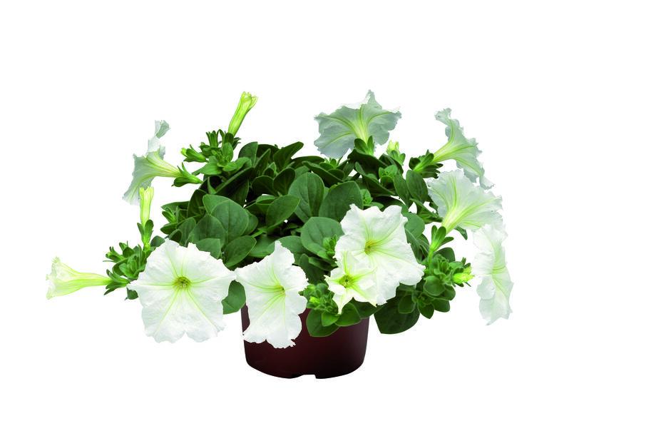 Petunia h. Patio White 12 cm