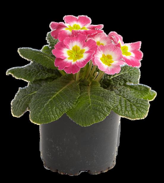 Kevätesikko 10,5 cm