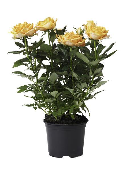Ruukkuruusu , Korkeus 32 cm, Keltainen