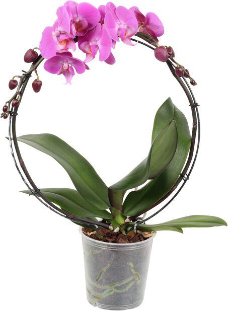 Perhosorkidea, Korkeus 40 cm, Pinkki