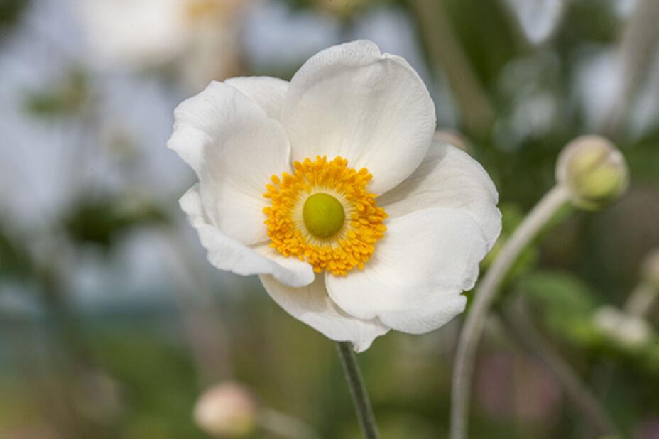 Syysvuokko, Korkeus 20 cm, Valkoinen