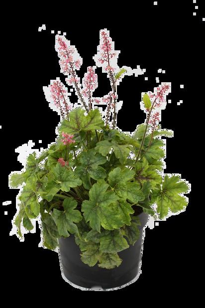 Keijunkukka, Korkeus 25 cm, Vihreä