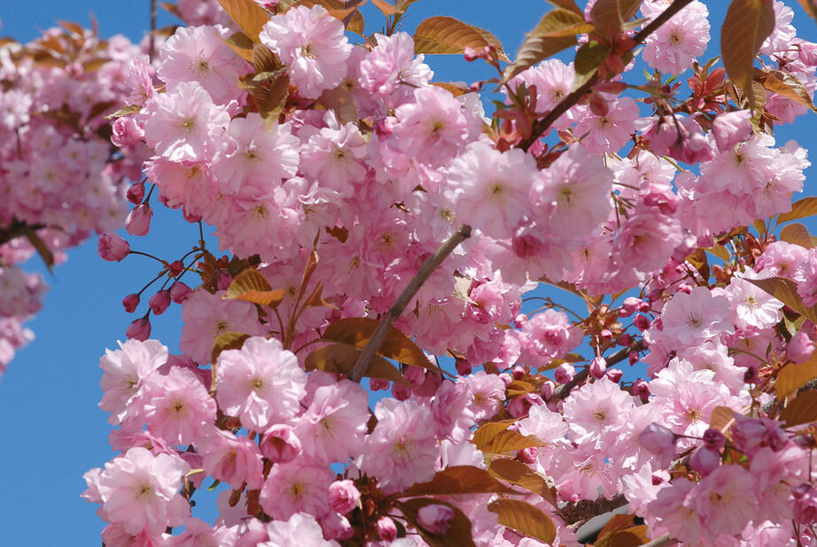 Prunus Satu-zakura 'Kanzan' stem 125 15L