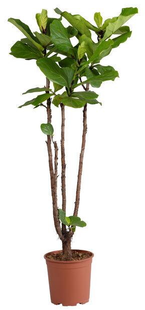 Lyyraviikuna , Korkeus 135 cm, Vihreä