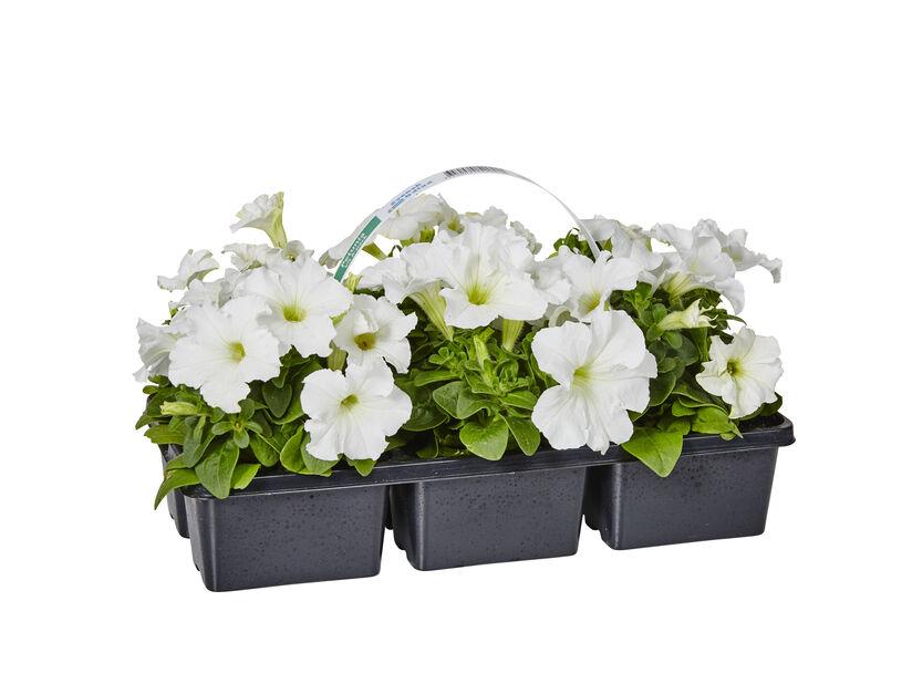 Petunia White 6-pack