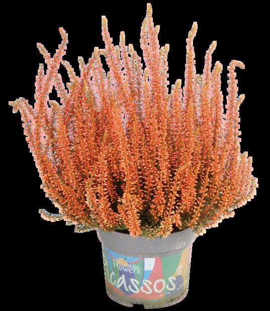 Aitokanerva värjätty, Ø12 cm, Oranssi