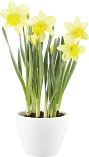 Narsissi, Ø12 cm, Keltainen