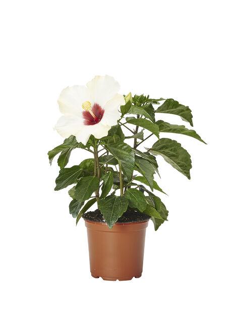 Kiinanruusu 12cm