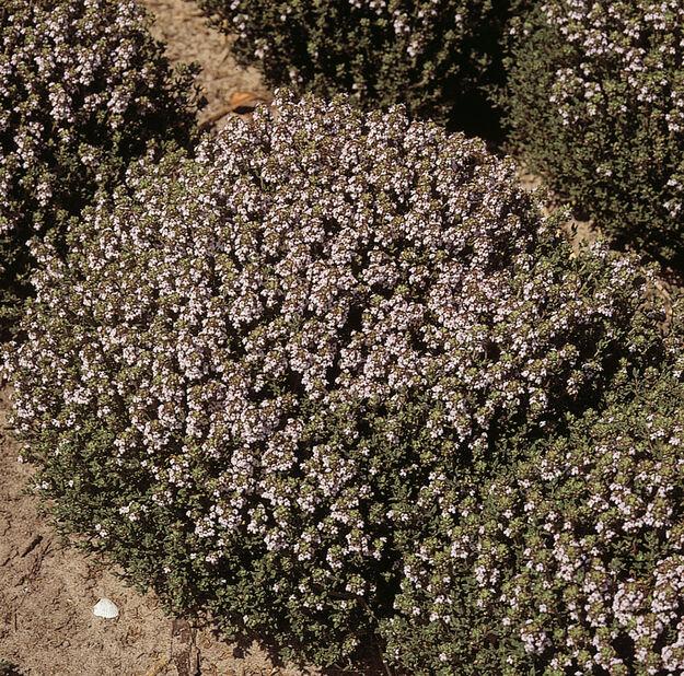 Tarha-ajuruoho 'Compactus', Korkeus 15 cm, Violetti