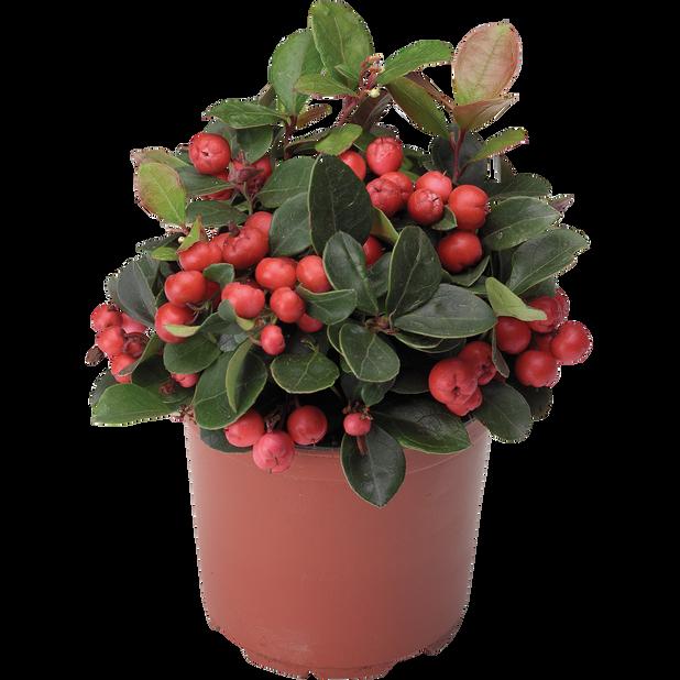 Lamosalali 'Big Berry', Ø9 cm, Punainen