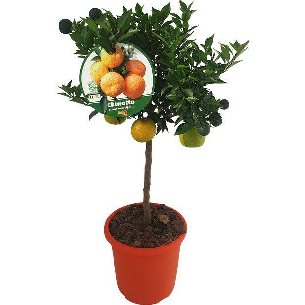 Appelsiini 'Chinotto', Ø21 cm, Keltainen