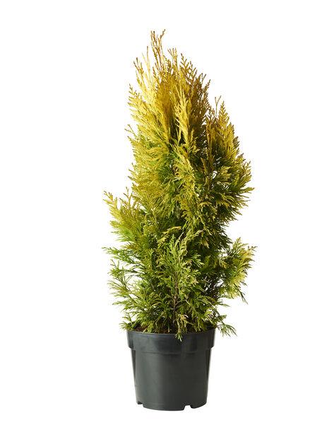Kultatuija '4-ever Goldy' , Korkeus 60-70 cm, Vihreä