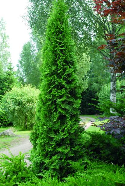 Timanttituija 'Smaragd' , Korkeus 80-100 cm, Vihreä