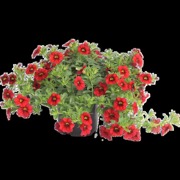 Petunia 'Red', Ø12 cm, Punainen