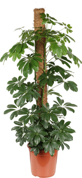 Liuska-aralia sammalpylväässä, Korkeus 120 cm, Vihreä