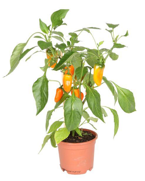 Napostelupaprika, Ø14 cm, Oranssi