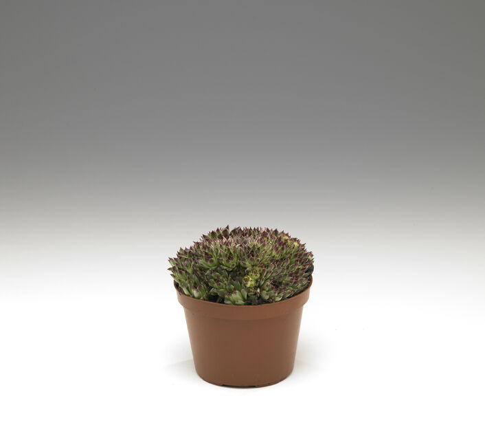 Kivikkokasvit, Ø12 cm, Vihreä