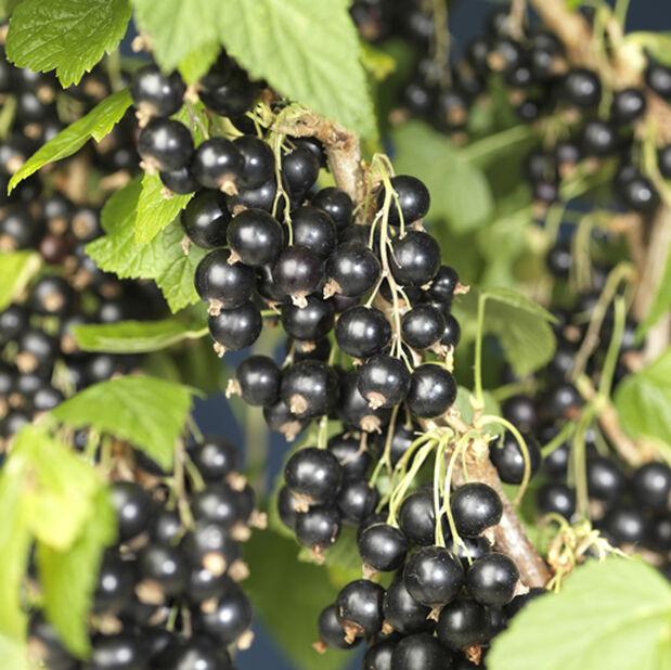 Ribes nigrum 'Öjebyn' 4,5L