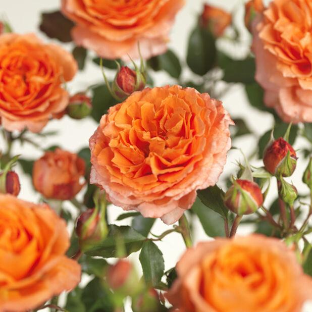 Terassiruusu 'Meilove oranssi' , Ø23 cm, Oranssi
