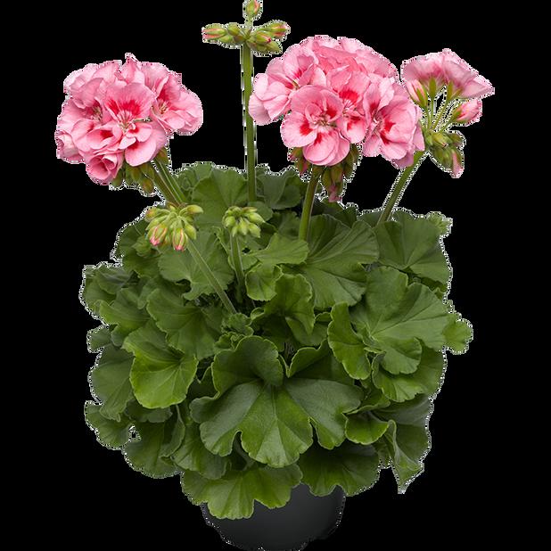 Calliope-pelargoni 'Pink Splash', Ø12 cm, Pinkki