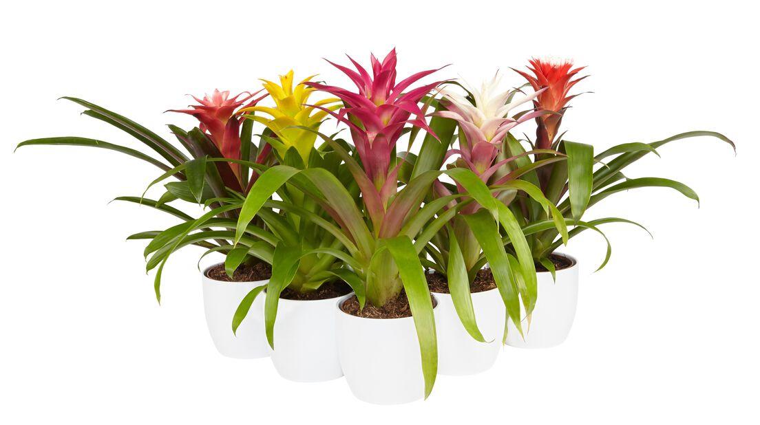 Timanttiananas lila/valkoinen 12 cm