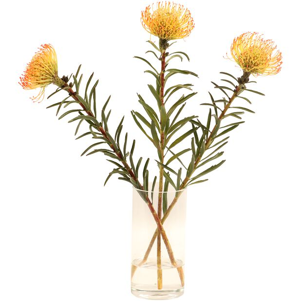 Neulaprotea, Korkeus 50 cm, Oranssi