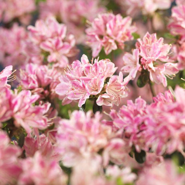 Japaninatsalea 'Roza', Korkeus 35 cm, Pinkki