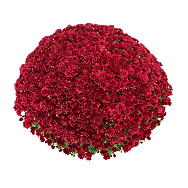 Pallokrysanteemi, Ø19 cm, Punainen