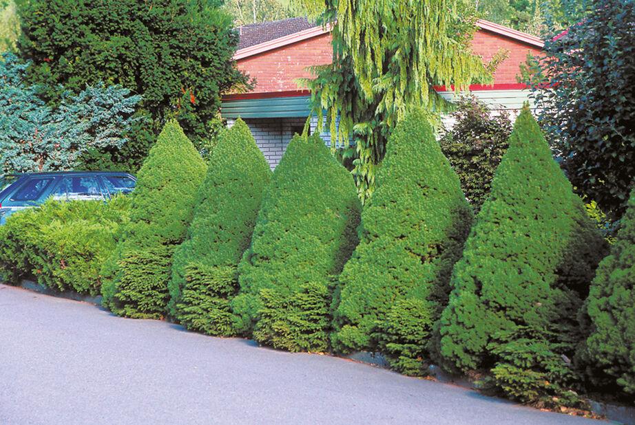 Kartiovalkokuusi , Korkeus 70-80 cm, Vihreä