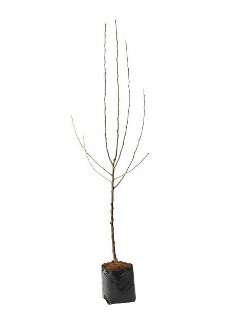 Syysomena 'Åkerö Hassel', Korkeus 180 cm, Valkoinen