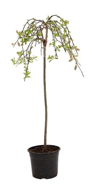 Riipparaita 'Kilmarnock', Korkeus 50-70 cm, Vihreä