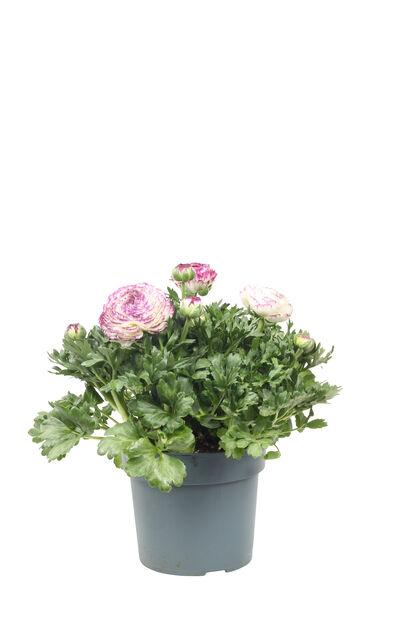 Leinikki 'Maché Vanilla Rose', Ø19 cm, Useita värejä