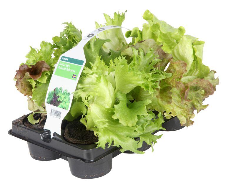 Salaatti, 6 kpl, Useita värejä