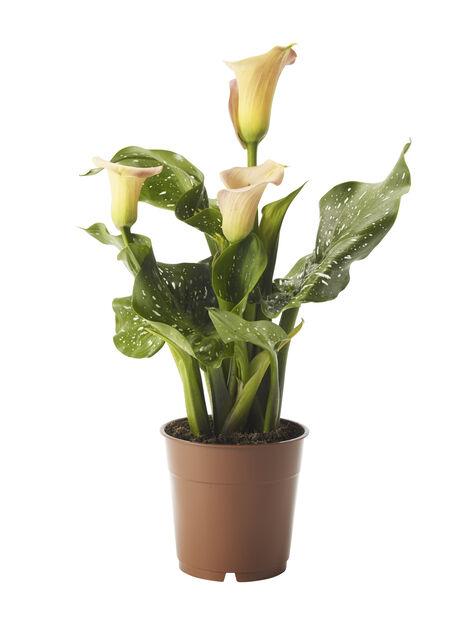 Huonevehka eli kalla  , Korkeus 48 cm, Keltainen