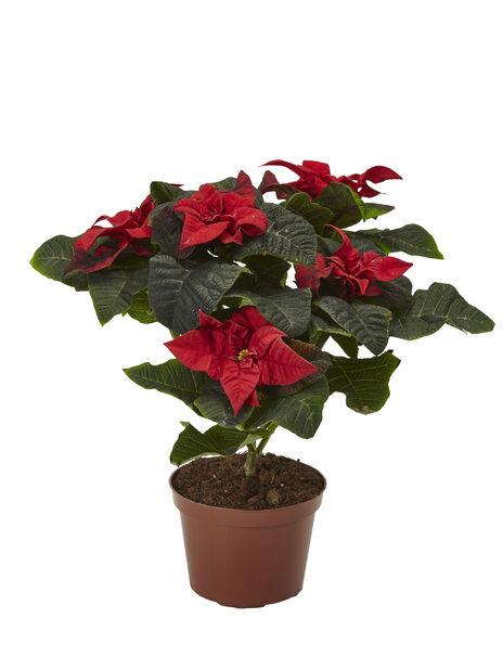 Monilatvainen joulutähti 'Winter Rose' , Korkeus 30 cm, Punainen