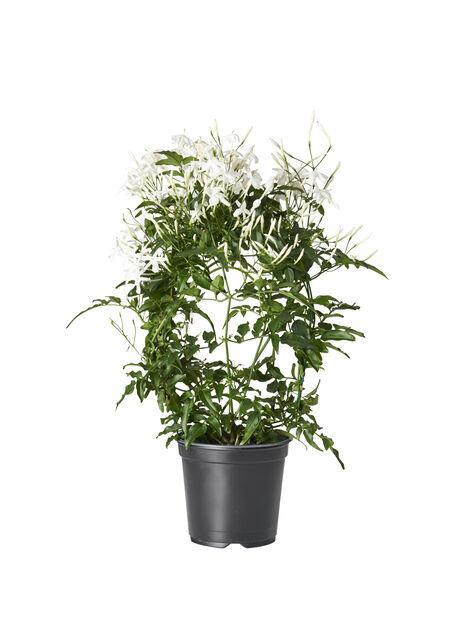Rohtojasmiini, Korkeus 45 cm, Valkoinen