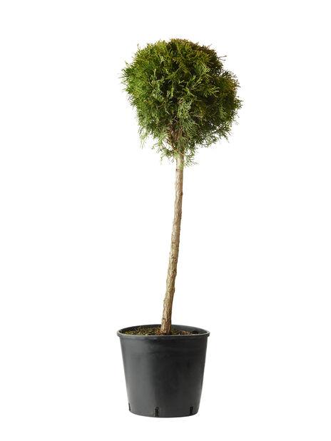 Timanttituija 'Smaragd' pallo, Korkeus 100 cm, Vihreä