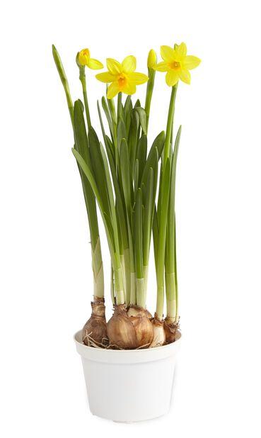 Kevätnarsissi 9 cm