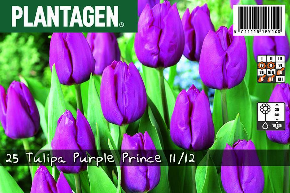 Tulppaani 'Purple Prince', Useita värejä