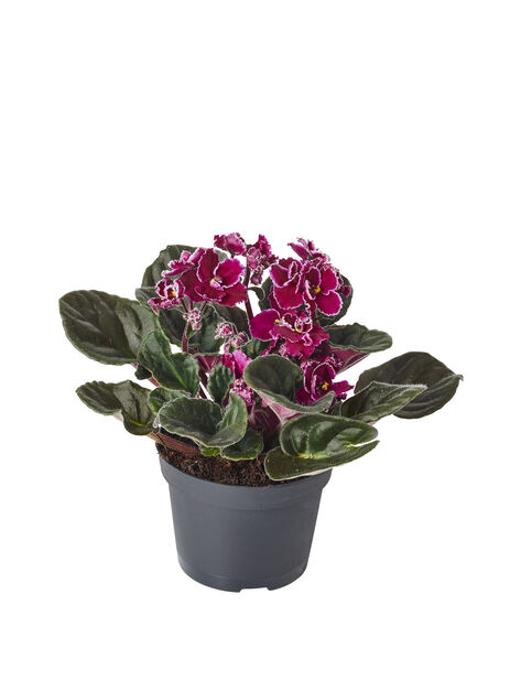 Paavalinkukka, Korkeus 15 cm, Violetti