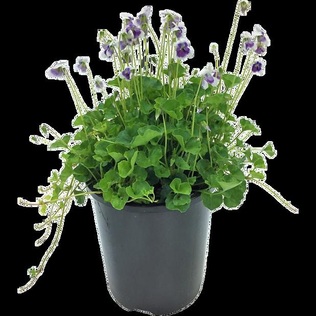 Viola Hederacea 9 cm